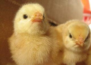 tavuk çiftliği serinletme